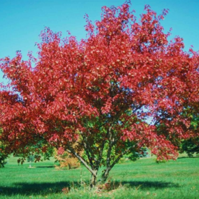Amur Flame Maple Shrub
