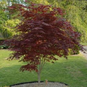 Bloodgood Palmatum Maple