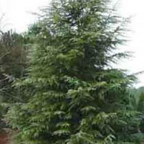Deador Cedar