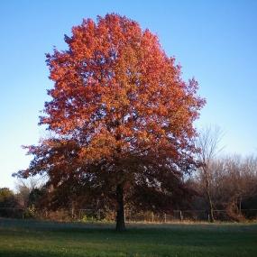 Pin Oak Fall