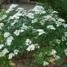Snow Mound Spirea